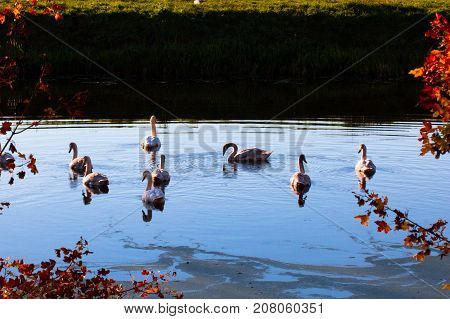 Beautiful tranquil scene of flock of swans on the river surface on a autumn evening as calm season background