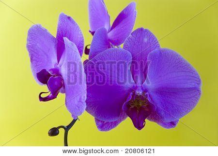 auf gelbem Hintergrund isoliert lila Orchidee