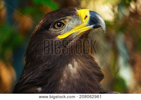 steppe eagle portrait close-up with a powerful beak