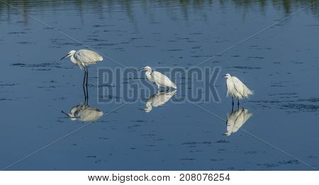 Three white little egrets standing on the water