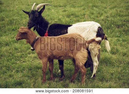 Two grazing goats at green meadow, natural agriculture background