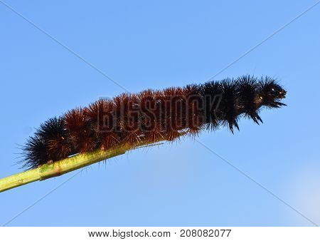 Woolly Bear Caterpillar or Isabella Tiger Moth, Pyrrharctia Isabella, is used as a weather predictor in some societies.  This picture shows a side view of the insect extending itself over a small branch.