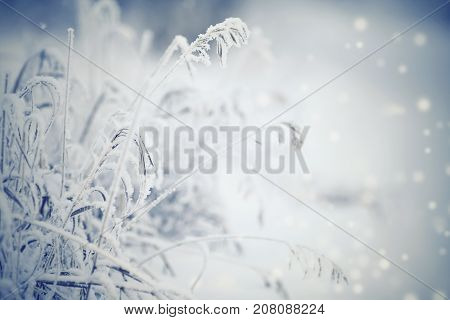 Dry plants in hoarfrost and snow in the winter
