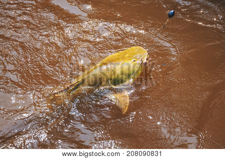 Fish Hooked By A Fisherman On The Water Surface. Fish Known As Jau.