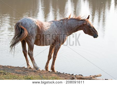 Wild Horse - Red Roan Stallion Shaking And Stretching Out At The Waterhole In The Pryor Mountains Wi