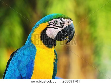 Blue-and-yellow Macaw Known As Arara-caninde In Brazil