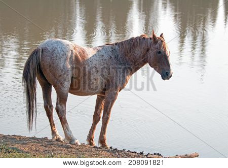 Wild Horse - Red Roan Stallion At The Waterhole In The Pryor Mountains Wild Horse Range In Montana U
