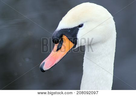 Close-up portrait of swan on the river