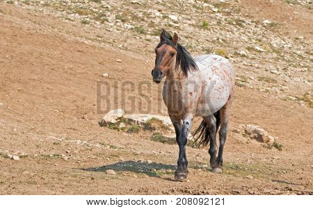 Wild Horse - Red Roan Stallion In The Pryor Mountains Wild Horse Range In Montana United States