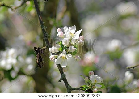 Spring in an orchardbeautiful blooming apple trees in spring park cherry orchard apple branch in bloom