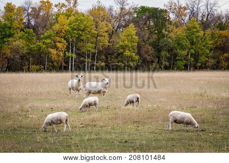 horizontal image of sheep grazing in the pasture in the fall time.