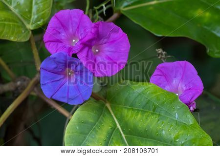 Closeup colorful Ocean Blue morning glory flower in blue purple color, known as koali awa, blue dawn (Ipomoea indica)