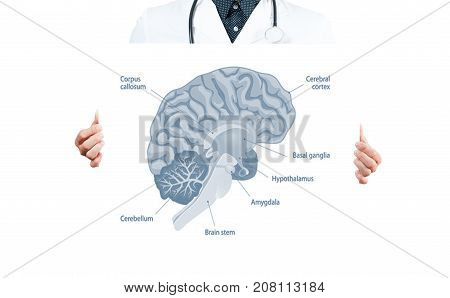 Doctor And Anatomy Of Human Brain For Basic Medical Education