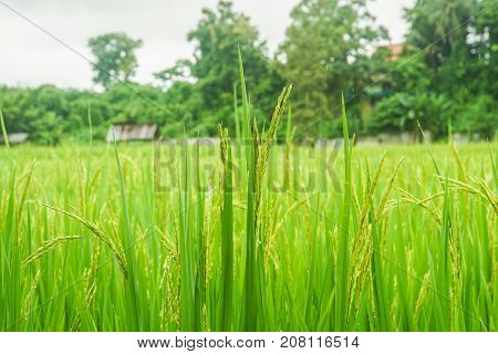 rice plant in the field produce grains in rural area