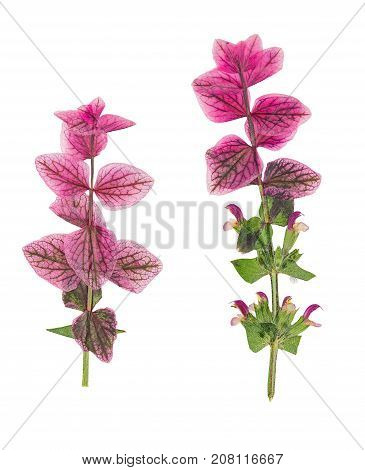Pressed and dried sage (clary salvia) isolated on white background. For use in scrapbooking floristry or herbarium.
