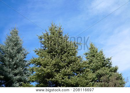 low angle view of pine tree under sunny blue sky