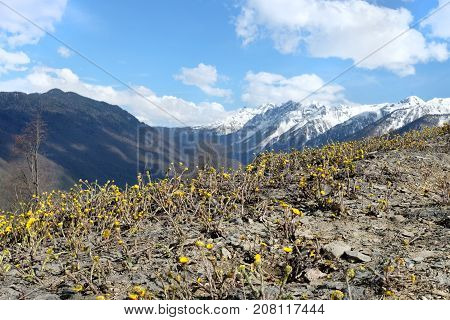 Mountain yellow flowers meadow in springtime background