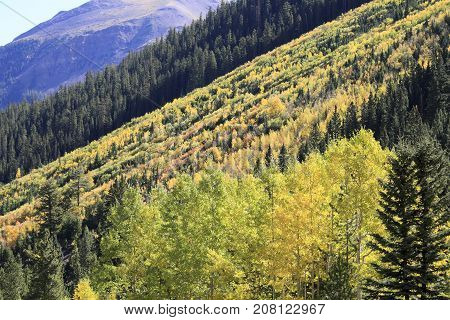 Autumn: Golden trees in Maroon Bells, Aspen