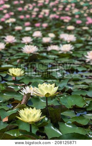 pink and yellow lotus flower background on river