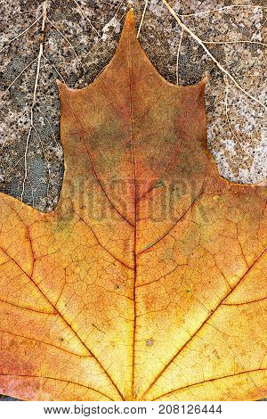 Yellow Maple Leave On Dried Leaves Skeletons Background Closeup