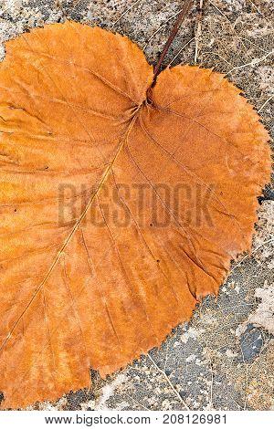 Colorful Orange Beech Leaf On Dried Leaves Skeletons Pattern