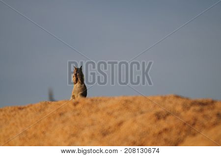 A white-Tailed Antelope Squirrel,Ammospermophilus leucurus, sitting on a rock during the Golden Hour in Joshua Tree National Park