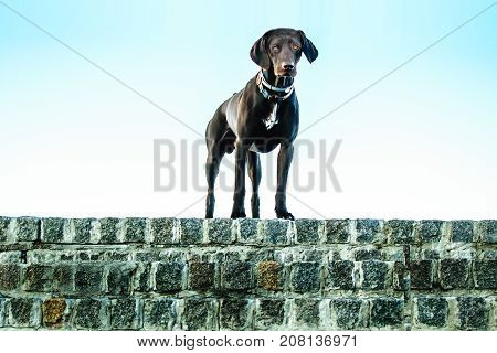 German shorthaired pointer. Hunter dog standing on stone wall on a blue sky background