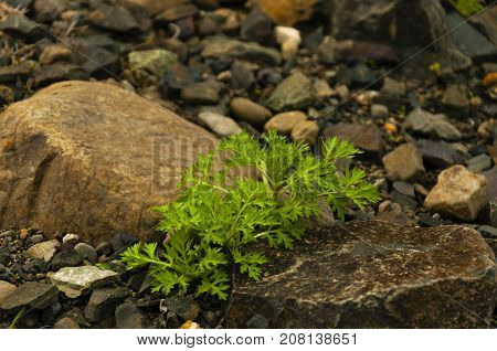 the small bush of a wild grass grows between two big stones