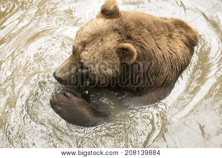 Grizzly bear in water shot from above