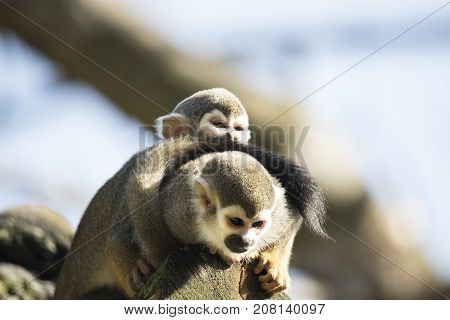 Squirrel monkey with baby sitting on a treetrunk