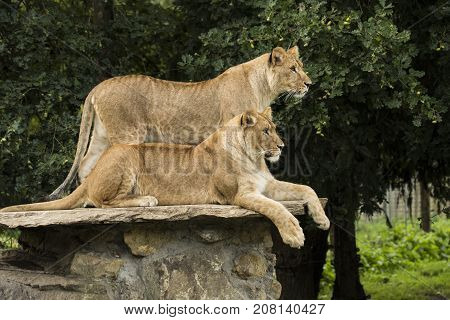 Two lionesses one standing one lying down