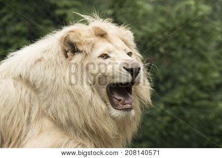 Headshot of a young white lion roaring