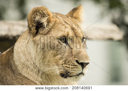 Headshot of a lioness closeup, side view