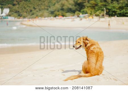 beautiful adult red dog walking along the beach on a tropical island in the summer. The dog is a lifesaver.
