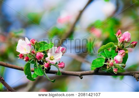 Spring blossoming tree with white delicant flowers