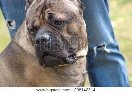 Bulldog's muzzle with sad eyes close-up against the torn jeans. Against the background of a green blurred grass. Space under the text. 2018 year of the dog in the eastern calendar. Concept: parodist dogs, dog friend of man, true friends, rescuers.