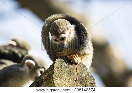 Squirrel monkey sitting on a treetrunk looking down