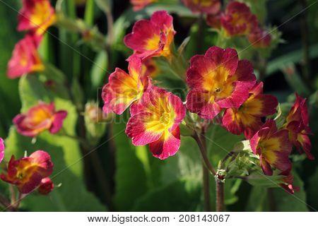 Perennial primrose or primula in the spring garden. Spring primroses flowers, primula polyanthus. The beautiful red colors primrose flowers garden.