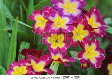 The beautiful pink colors primrose flowers garden .