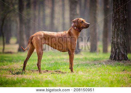 The young and beautiful rhodesian ridgeback walking outdoors.