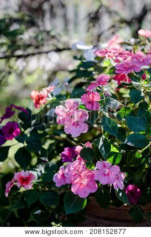 Flowerbed with pink flowers on summer or autumn day