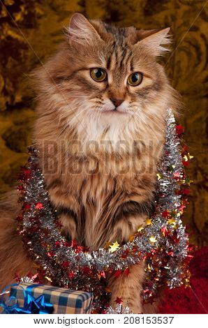 Beautiful siberian cat with gifts and toys over dark background