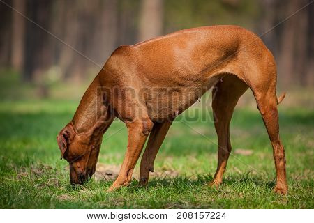 Rhodesian ridgeback walking in the forest and sniffing something in the grass.