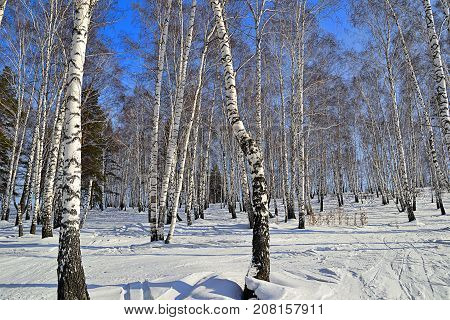 Sunny winter day in birch grove - white trunks of birch trees with blue shadows ski tracks on a snow early spring landscape in birchforest on bright blue sky background - concept of eco