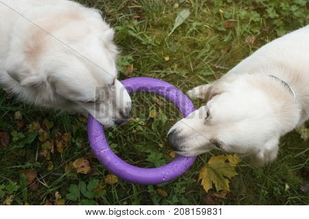 two golden retriever dogs playing with a toy together in autumn. View up to down.
