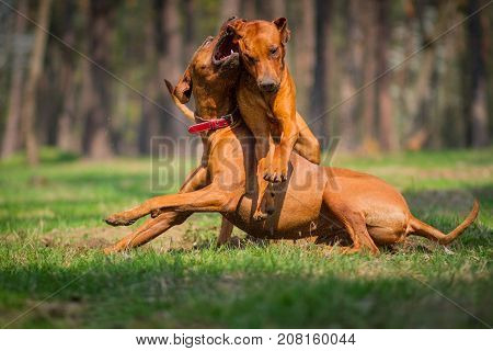 Two rhodesian ridgebacks walking in a park playing and fighting.