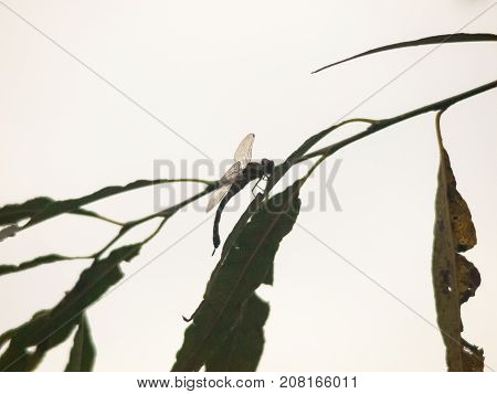 silhouette of dragonfly resting perched on leaf of branch close up; england; uk winter