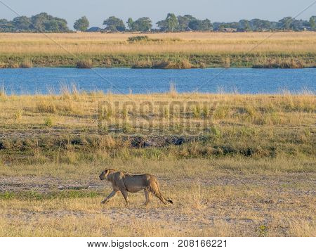 Female lione walking along bank of Chobe River with human settlement in background on Namibian side, Chobe National Park, Botswana, Southern Africa.