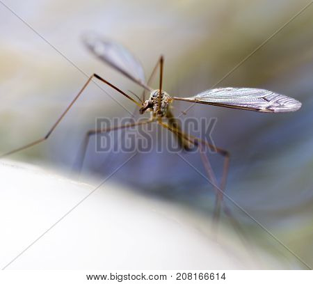 a large mosquito by the river in the nature. macro