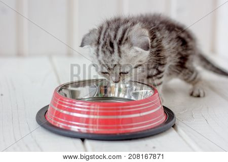 Young gray kitten drinks water from kitten bowl